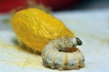 汉代和阗籽玉圆雕蚕佩(形制仅见)